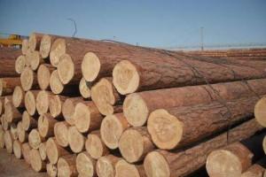 俄罗斯樟子松的优缺点有哪些及木材材质怎么样?