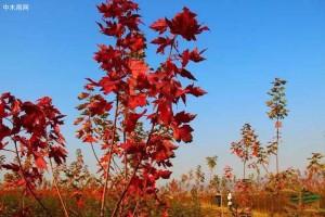 美国红枫怎么样?看看苗木行业媒体人怎么说?