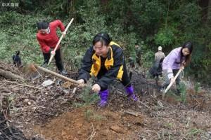 杉木造林时如何提高成活率——杉木速生丰产林苗木处理与栽植技术