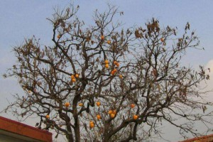 胡同里为什么种柿子树呢?