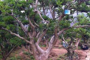 北方适合栽大叶黄杨木树吗?