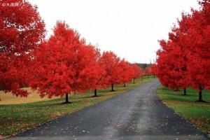 美国红枫树:唯一可用做行道树的彩叶树种