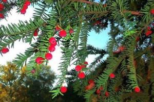 如何鉴别红豆杉树的真假?