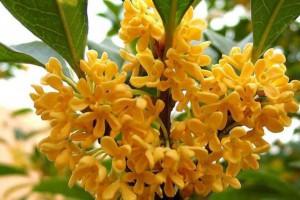 桂花树的种类很多,什么桂花树最好?