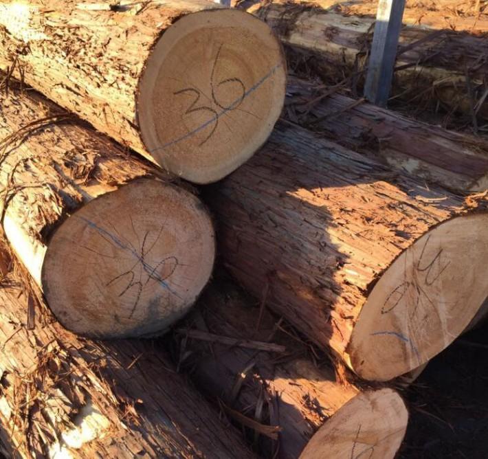 求购:日本柳杉原木