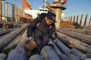 近3万吨进口桉木在河北曹妃甸口岸顺利通关