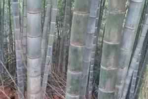 长宁县委书记董茂成调研梅硐镇竹产业发展