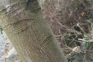 小叶红豆木树叶图片视频