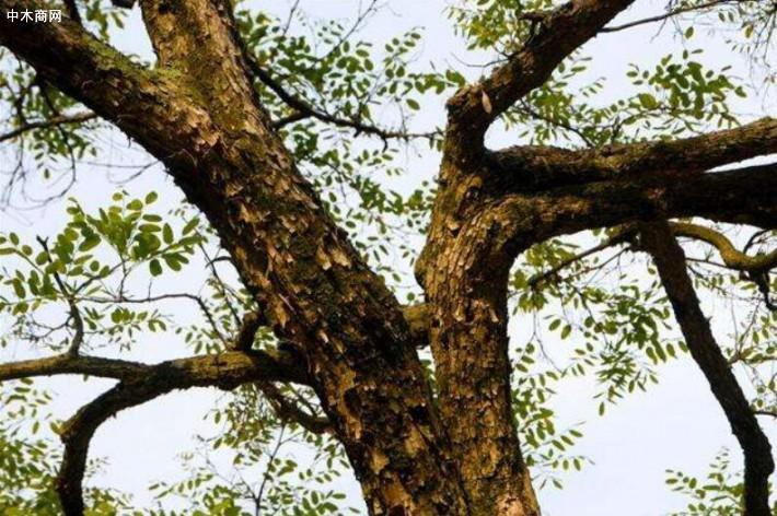 印尼黑酸枝主要生长在热带地区