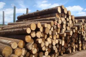 采购:俄罗斯白松原木
