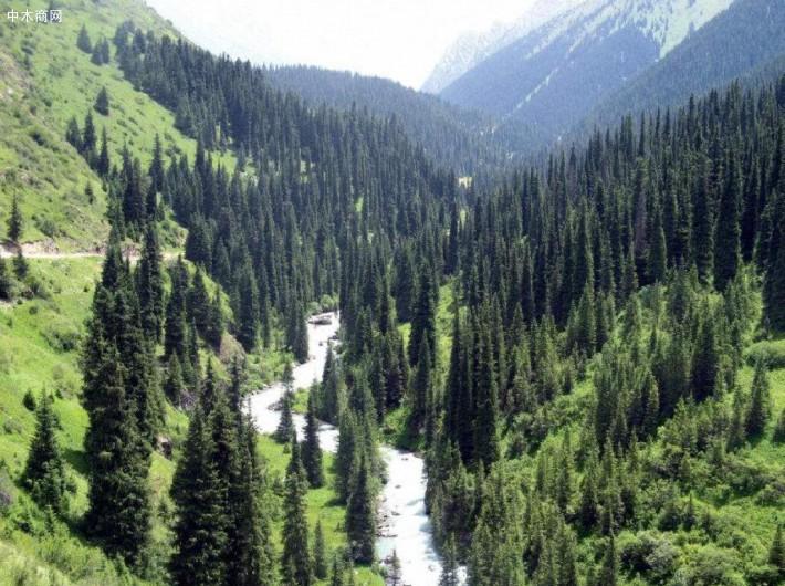 2019年俄罗斯阿尔泰山区恢复192.6hm2针叶林