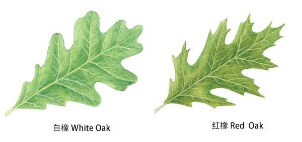 只要比较叶子的形状就可以区别红橡和白橡