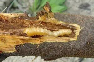 武汉新港海关从进口澳大利亚桉木截获六种有害生物