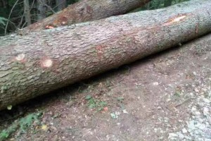 欧洲云杉,冷杉原木价格多少钱一方