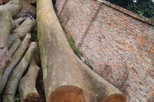 金丝楠木原木批发价格多少钱一立方米