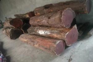 红豆杉原木厂家批发,一手货源,品质保证