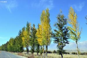白杨树的特点是什么