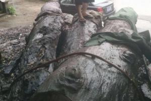 金丝楠木阴沉木乌木原木300吨
