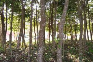 沉香跟沉香树和沉香木的区别有哪些?