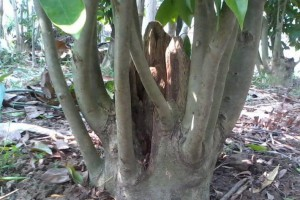 沉香树常用的植菌结香方式有哪些?