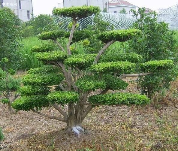 黄杨木和白杨木的区别特征是什么?