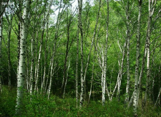 白杨树的生命是顽强的