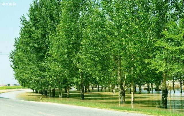 白杨树愈加苍翠挺拔