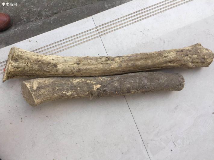 小叶高山黄杨木原木用于根雕和摆件厂家