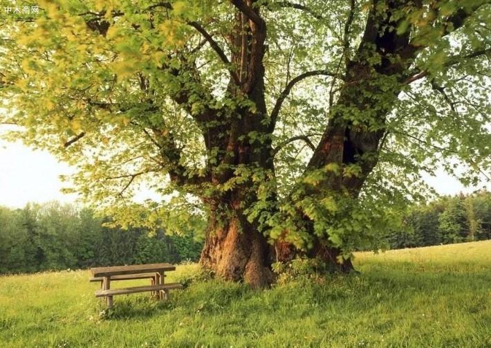 榆木是甚么木材?如何保证榆木家具不开裂?