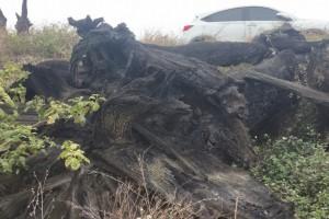 阴沉木原木4000年左右,河底挖出来的,硬度高