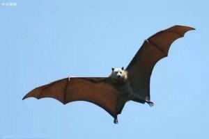 蝙蝠进入冬眠,谁是新型冠状病毒的中间宿主?