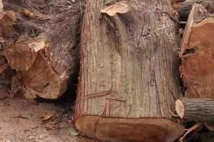 长期大量出售香柏木原木现货视频