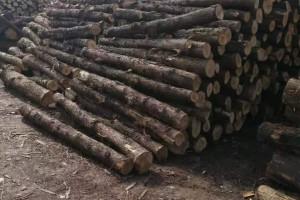 长期大量出售正宗四川油柏木原木厂家现货视频