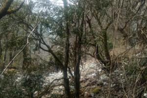 长期出售小叶高山黄杨木,用于根雕和摆件,还有黄杨木绿化树