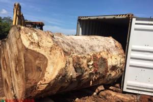 供应美洲进口大口径核桃木(核桃王)原木