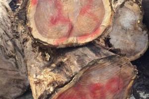 哥斯达黎加柚木原木