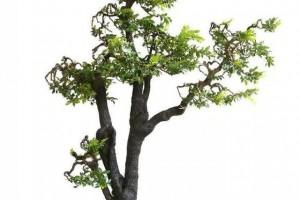 小叶紫檀盆景和黑骨茶盆景的区别?2种盆景哪个更好养护?