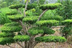 适合庭院种植的树木品种有哪些?观赏性,寓意美好的镇宅庭院树!