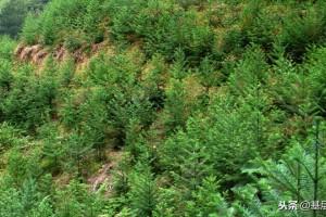 杉木炭疽病和黄化病的症状特征?杉树的发病规律及防治措施方法?