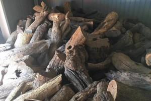 沙漠铁木生长环境干旱恶劣,生长缓慢,沙漠铁木原木厂家直销