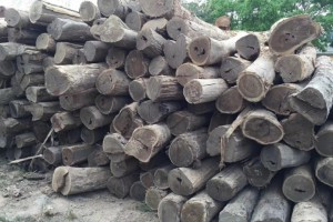 墨西哥黄金檀原木厂家直销