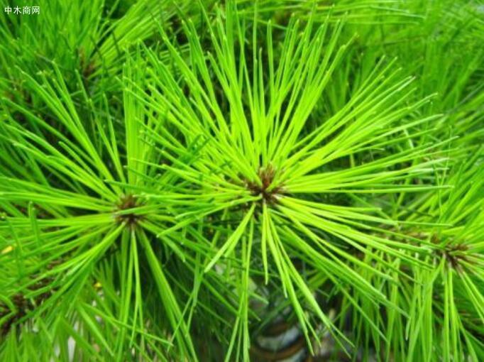 国内赤松的基本特性是什么?赤松与樟子松的区别?