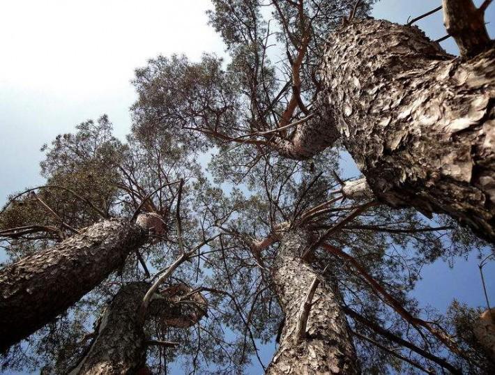 赤松人工林幼林生长状况