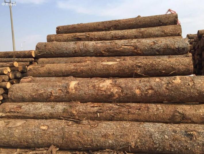 进口澳洲白松原木厂家批发价格图片