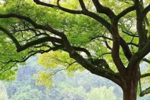 香樟木是什么木材?香樟木做家具有哪些优点?