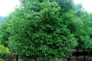 香樟木具有特殊性气味!那么香樟木香味对人体的功效与作用有哪些?