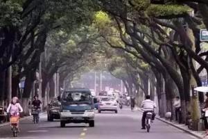 江南四大名木之首的香樟木!为什么自古就是制作高档家具的良材呢?
