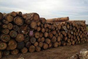 广东深圳海关从一批木材中检测出有害生物松材线虫