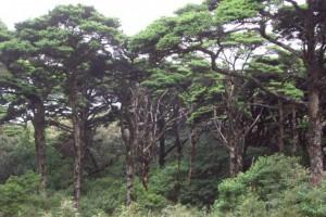 """银杉树被称为植物""""活化石""""_中国特有的第三纪孑遗植物"""