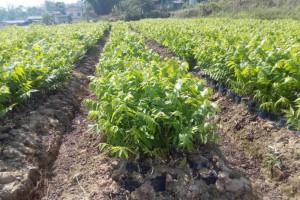 求购安徽的核桃苗,薄壳山核桃树种,河南薄壳山核桃苗